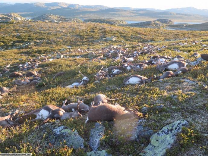 ВНорвегии молния убила свыше 300 оленей