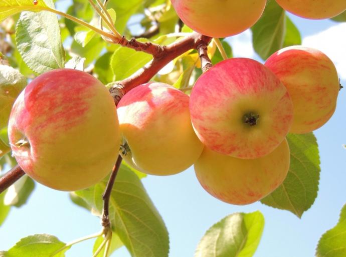 Запрещенные товары в Российскую Федерацию импортируют ввиде яблок игрибов
