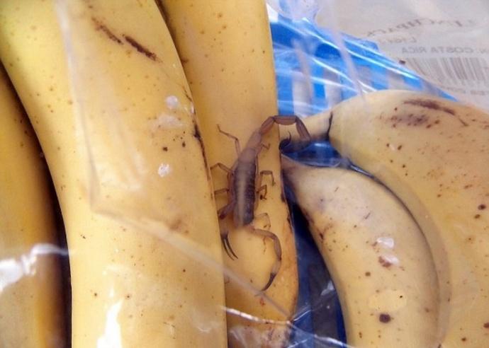 ВБарановичах мужчину, выбиравшего бананы вмагазине, укусил скорпион