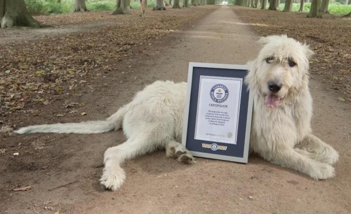 ВБельгии пес побил мировой рекорд насамый длинный хвост